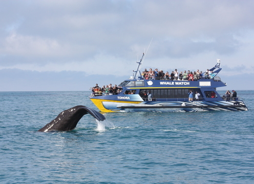 """THE ULTIMATE MARINE EXPERIENCE"" NZ's only marine based whale watching company offering an exciting up-close encounter with Giant Sperm Whale in their natural environment at all times of the year!"