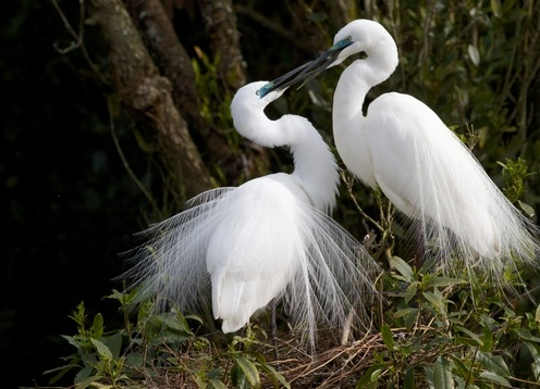 The Rare White Heron (Kotuku) is a national treasure and Whataroa is the base  for the world renown trips to the White Heron Sanctuary, in the Waitangi Roto Reserve. This is the only place in New Zealand that these beautiful birds nest,along with the Royal Spoonbill and the little shag.